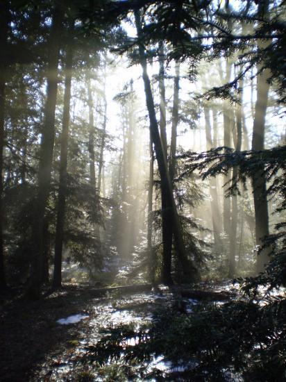 Altitona (Massif du Mont-Sainte-Odile, Alsace) - La forêt.